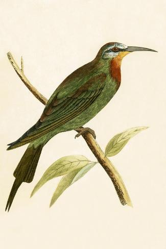 Blue Cheeked Bee Eater,  from 'A History of the Birds of Europe Not Observed in the British Isles'-English-Stretched Canvas Print