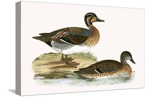 Clucking Teal,  from 'A History of the Birds of Europe Not Observed in the British Isles'-English-Stretched Canvas Print