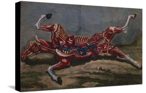 Anatomy of a Horse, from 'Cours D'Hippiatrique Ou Traite Complet De La Medecine Des Chevaux'- Harguinier-Stretched Canvas Print