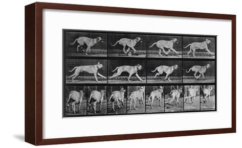 Running Dog, Plate 707 from 'Animal Locomotion', 1887 (B/W Photo)-Eadweard Muybridge-Framed Art Print