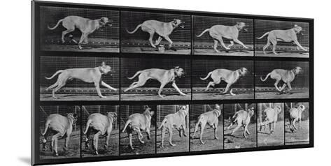 Running Dog, Plate 707 from 'Animal Locomotion', 1887 (B/W Photo)-Eadweard Muybridge-Mounted Giclee Print
