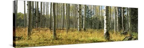 Aspen Trees, Humphrey Park, Flagstaff, Arizona, USA--Stretched Canvas Print