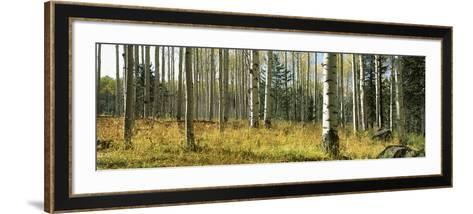 Aspen Trees, Humphrey Park, Flagstaff, Arizona, USA--Framed Art Print