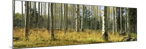 Aspen Trees, Humphrey Park, Flagstaff, Arizona, USA--Mounted Photographic Print