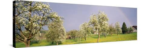 Pear Trees in a Field (Pyrus Communis), Aargau, Switzerland--Stretched Canvas Print