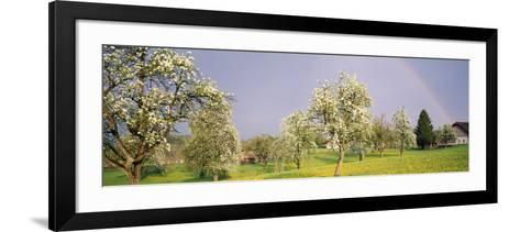 Pear Trees in a Field (Pyrus Communis), Aargau, Switzerland--Framed Art Print