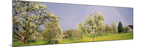 Pear Trees in a Field (Pyrus Communis), Aargau, Switzerland--Mounted Photographic Print