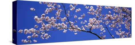 Cherry Blossoms Washington DC USA--Stretched Canvas Print