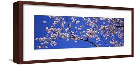 Cherry Blossoms Washington DC USA--Framed Art Print