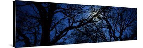 Silhouette of Oak Trees, Texas, USA--Stretched Canvas Print
