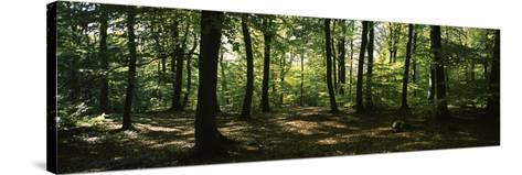 Beech Trees in a Forest, Viennese Forest, Lower Austria, Austria--Stretched Canvas Print