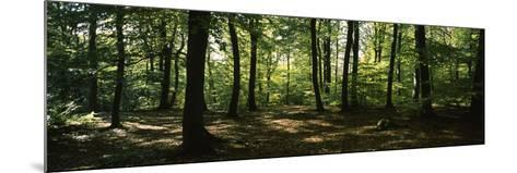 Beech Trees in a Forest, Viennese Forest, Lower Austria, Austria--Mounted Photographic Print