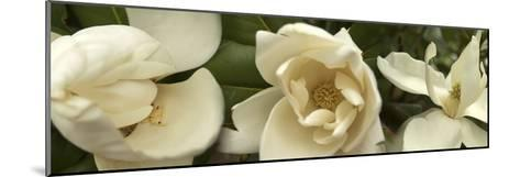 Magnolia Flowers--Mounted Photographic Print