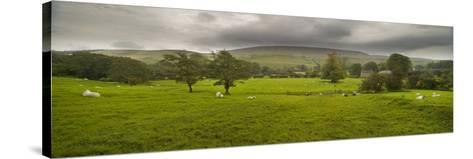 Cattle in a Meadow, Pendle Hill, Clitheroe, Lancashire, England--Stretched Canvas Print