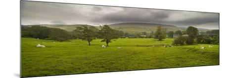 Cattle in a Meadow, Pendle Hill, Clitheroe, Lancashire, England--Mounted Photographic Print