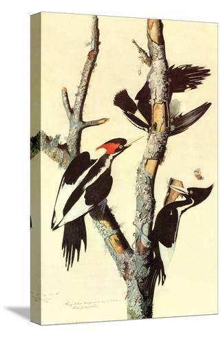 Ivory-Billed Woodpecker-John James Audubon-Stretched Canvas Print