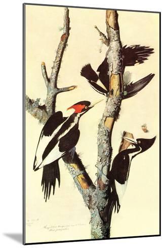 Ivory-Billed Woodpecker-John James Audubon-Mounted Art Print