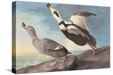 Labrador Duck-John James Audubon-Stretched Canvas Print