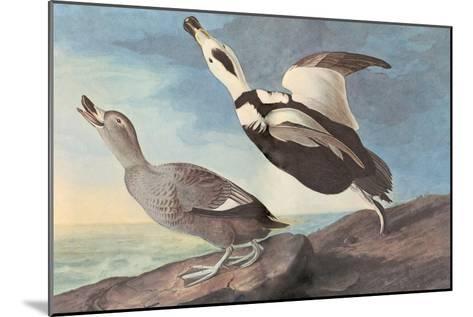 Labrador Duck-John James Audubon-Mounted Art Print