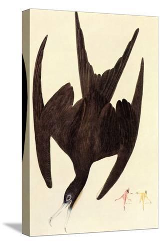 Magnificent Frigate Bird-John James Audubon-Stretched Canvas Print