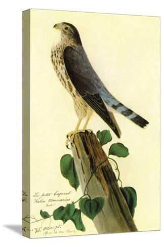Pigeon Hawk-John James Audubon-Stretched Canvas Print