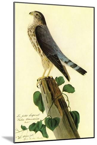 Pigeon Hawk-John James Audubon-Mounted Art Print