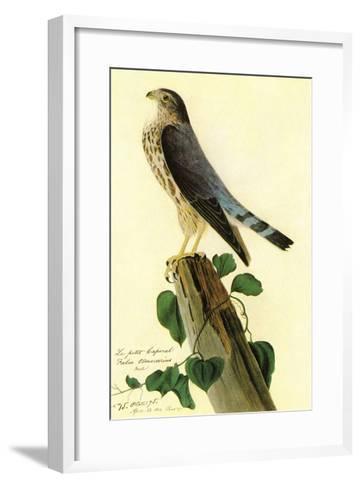 Pigeon Hawk-John James Audubon-Framed Art Print