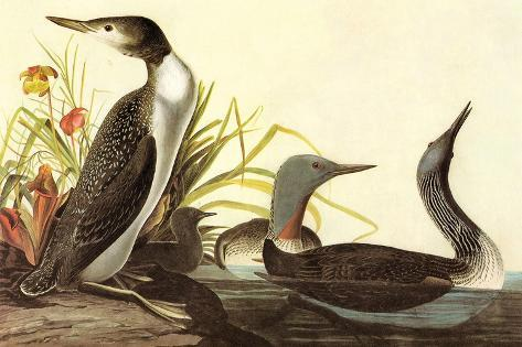 Red-Throated Loon-John James Audubon-Stretched Canvas Print