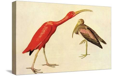 Scarlet Ibis-John James Audubon-Stretched Canvas Print