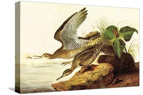 Upland Plover-John James Audubon-Stretched Canvas Print