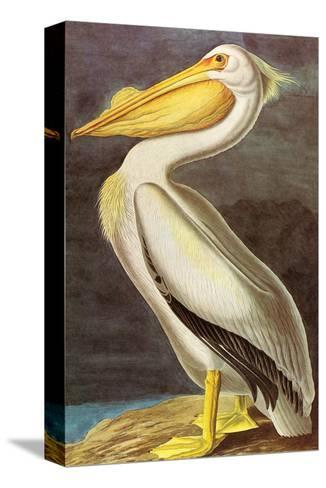 White Pelican-John James Audubon-Stretched Canvas Print