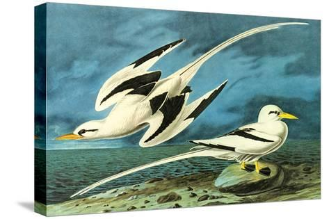 White-Tailed Tropic Bird-John James Audubon-Stretched Canvas Print