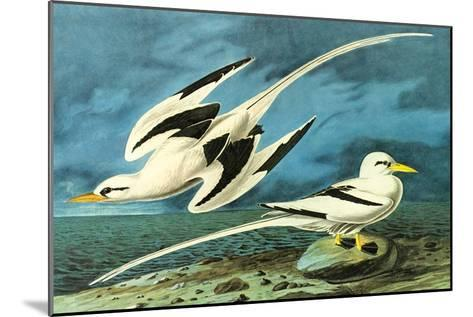 White-Tailed Tropic Bird-John James Audubon-Mounted Art Print