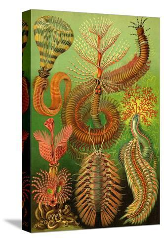 Worms-Ernst Haeckel-Stretched Canvas Print