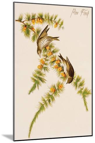Pine Finch-John James Audubon-Mounted Art Print