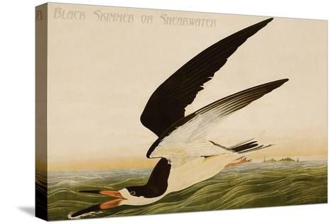 Black Skimmer or Shearwater-John James Audubon-Stretched Canvas Print
