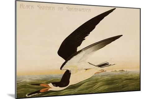 Black Skimmer or Shearwater-John James Audubon-Mounted Art Print