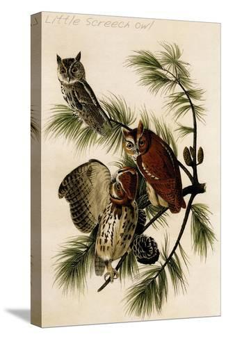 Little Screech Owl-John James Audubon-Stretched Canvas Print