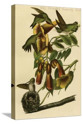 Ruby Throated Humming Bird-John James Audubon-Stretched Canvas Print