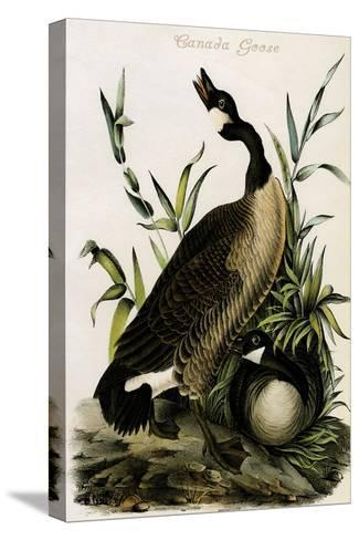 Canada Goose-John James Audubon-Stretched Canvas Print