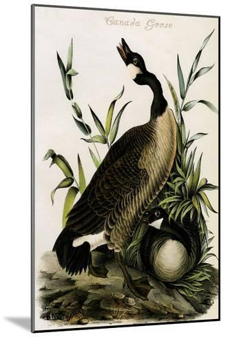 Canada Goose-John James Audubon-Mounted Art Print