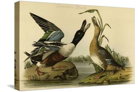 Shoveler Duck-John James Audubon-Stretched Canvas Print