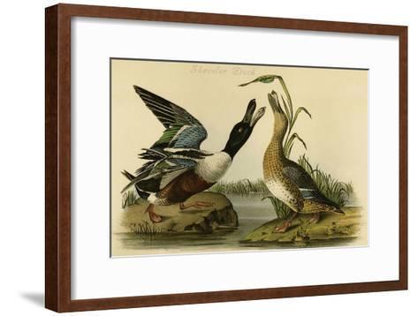 Shoveler Duck-John James Audubon-Framed Art Print