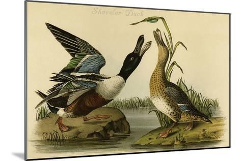 Shoveler Duck-John James Audubon-Mounted Art Print
