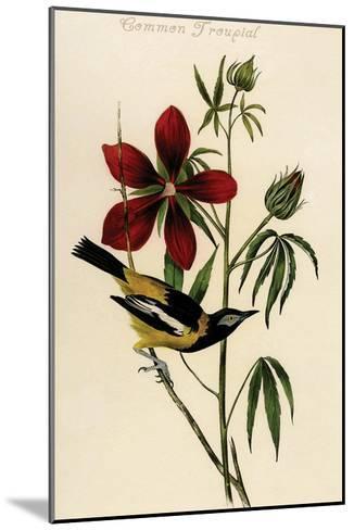 Common Troupial-John James Audubon-Mounted Art Print