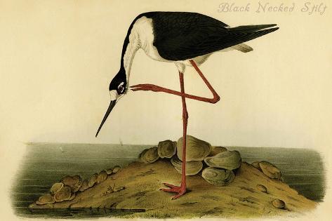 Black-necked Stilt-John James Audubon-Stretched Canvas Print