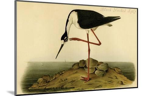Black-necked Stilt-John James Audubon-Mounted Art Print
