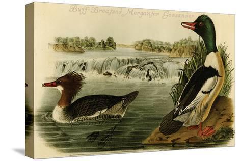 Buff-Breatsed Merganter Goosander-John James Audubon-Stretched Canvas Print