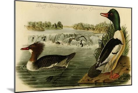 Buff-Breatsed Merganter Goosander-John James Audubon-Mounted Art Print