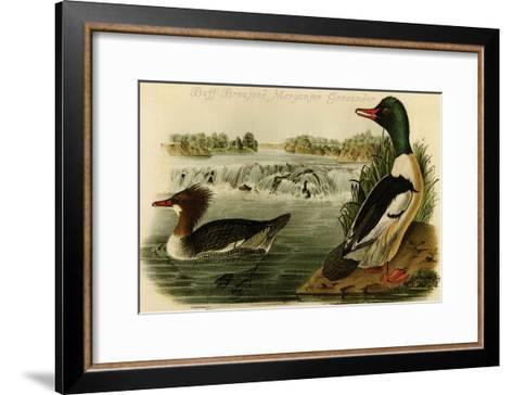 Buff-Breatsed Merganter Goosander-John James Audubon-Framed Art Print